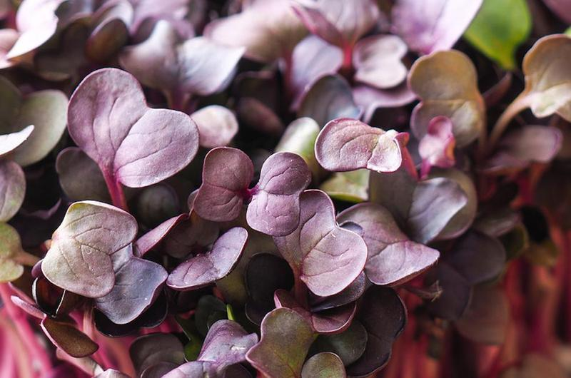 Purple Radish Microgreen Seeds