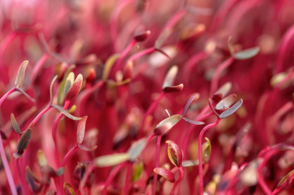 Red Amaranth Microgreen Seeds - Wholesome Supplies