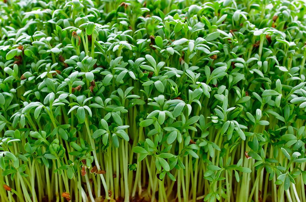 Watercress Microgreen Seeds - Wholesome Supplies