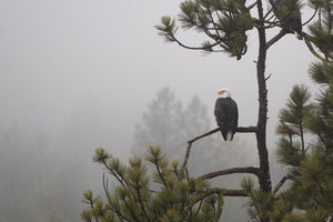 Eagle Foggy Woods Postcard