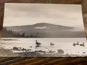 B&W Ducks on the Beach Postcard