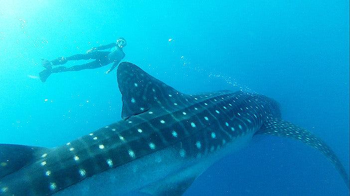 whale shark next to human