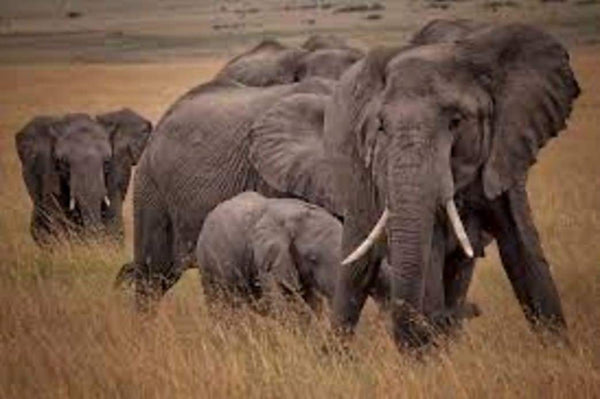 Zimbabwe to sell hunting rights for 500 elephants | Rickshaw Journey