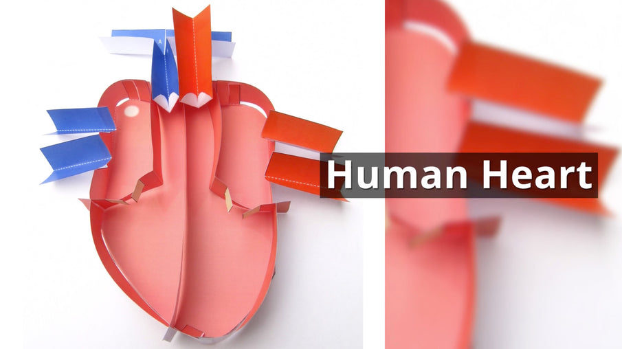 Check out our Human Heart movie!