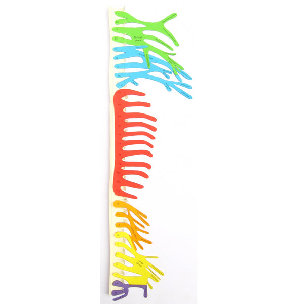 Show spinal nerves with our new model!
