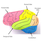 origami organelles brain labelled