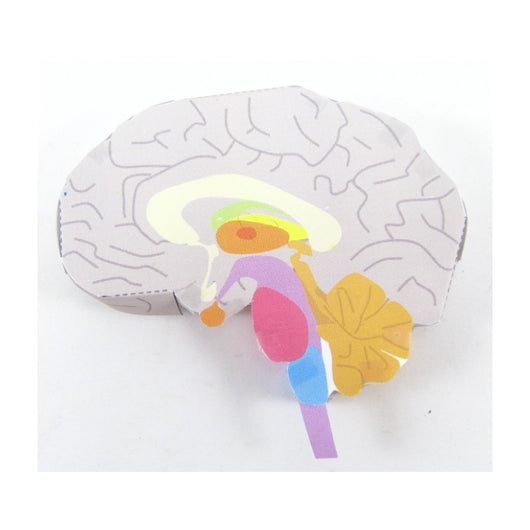 brain structure origami organelle