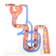 nephron model