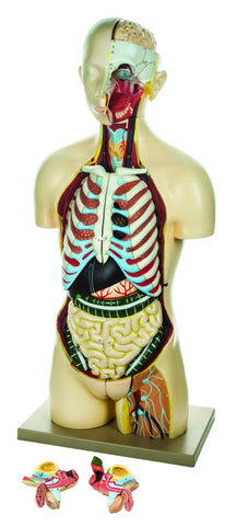 Model Torso with interchangeable Sex Organs - 15 Parts