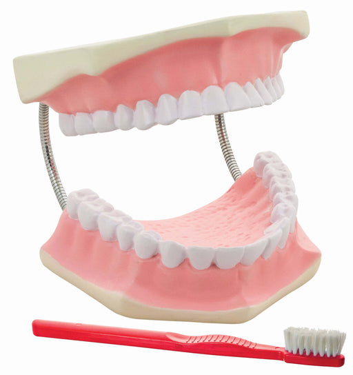 Dental Care Model - Giant, 3 times life size