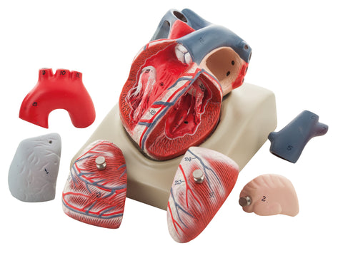 Human Heart on Diaphragm Enlarged 3 Times - 7 Parts – Eisco Labs