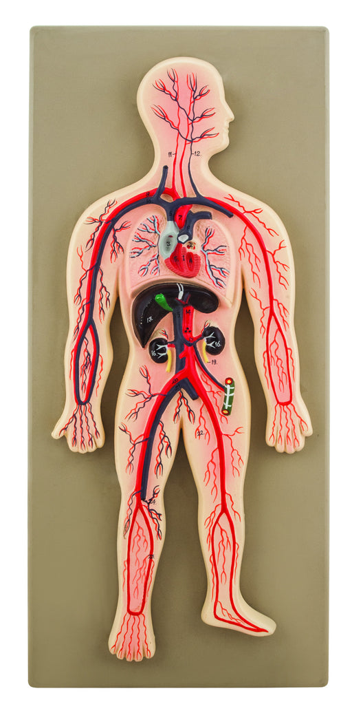 EISCO Human Circulatory System Model, Hand Painted