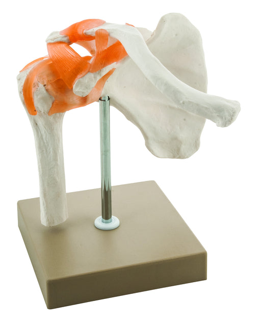 Model Human Shoulder Joint