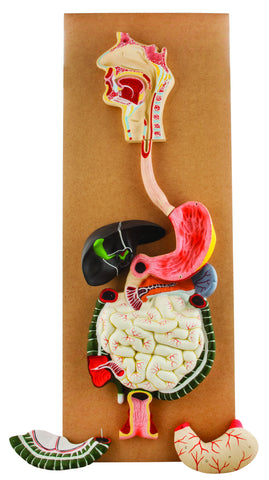 Model Human Digestive System-3 Parts – Eisco Labs