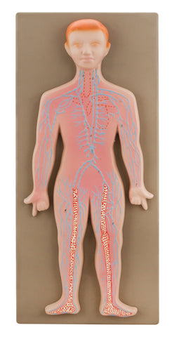 Model Human Lymphatic System