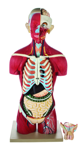 Human Full Muscle Torso with Dual Sex Organs 20 Parts