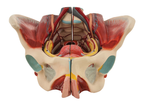 Female Muscle Pelvis - 4 Parts