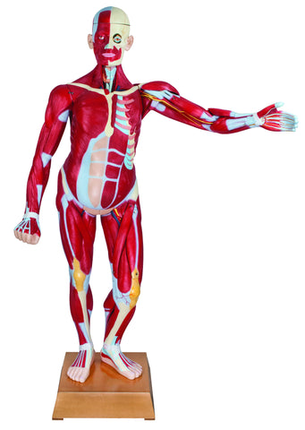 Human Life Size Muscular Torso Dissectable With Dual Sex Organs 47
