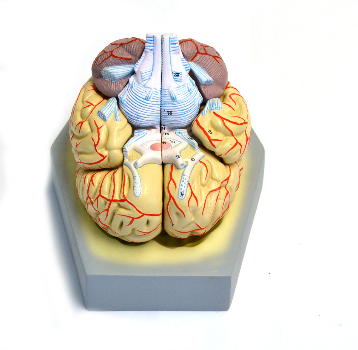 Model, Human Brain, With Arteries, 9 Parts