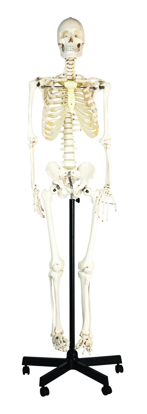"Life Sized Human Skeleton Model (62"" Height), Articulated Joints, Pelvic Mounted with Wheeled Base"