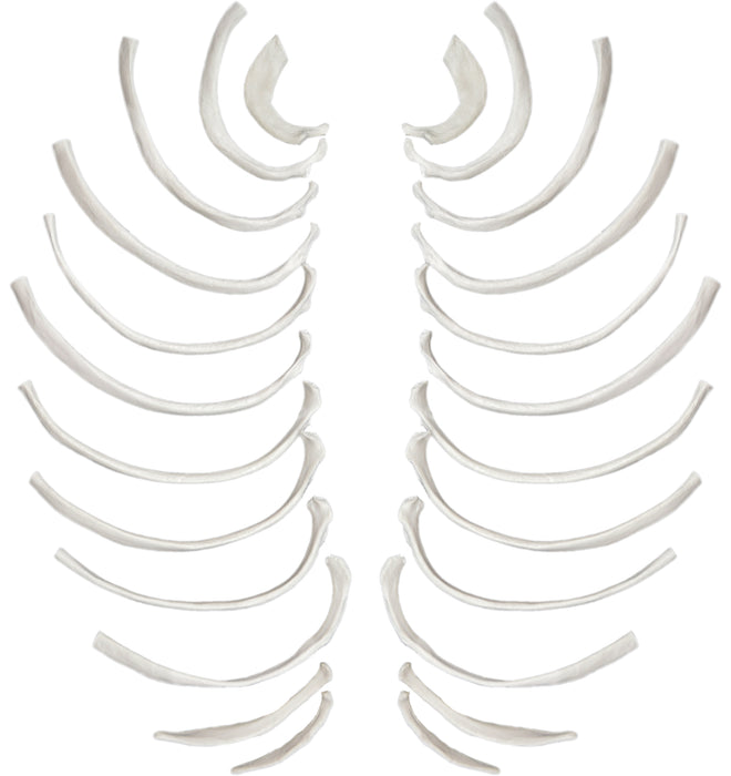 Disarticulated Rib Bones, Full Set of 24, Natural Size, Natural Color