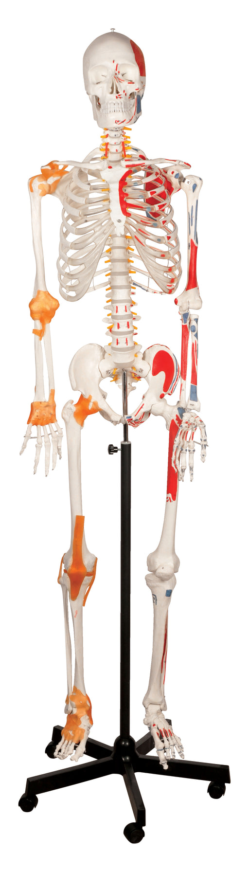 Human Skeleton with Ligament - 170 cm