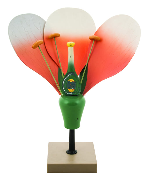 Model Typical Flower Dissectable