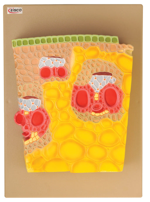 Model Tissue Structure