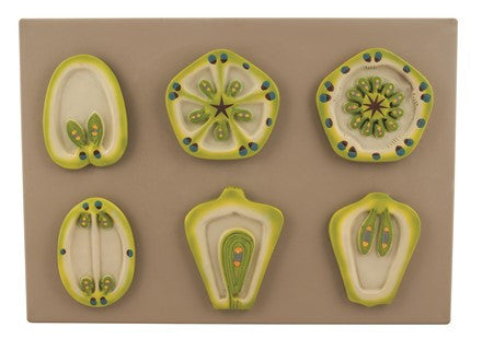 Model Placentation - Set of 6