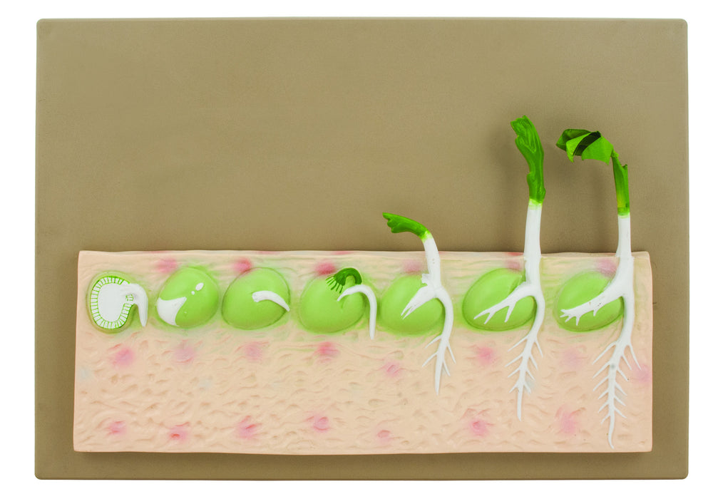 EISCO Dicot Seed Germination Model (Pea)