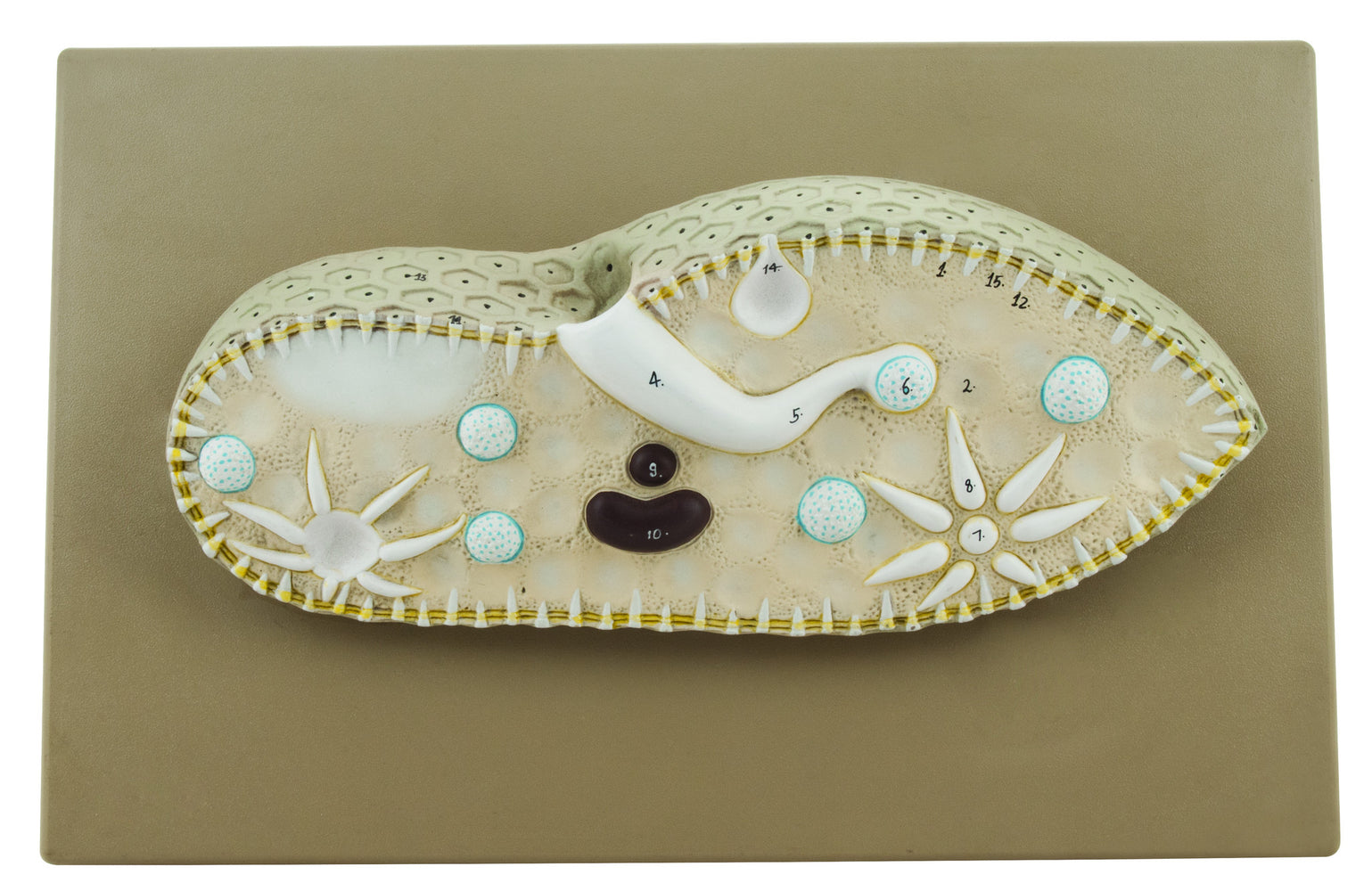 EISCO Paramecium Model