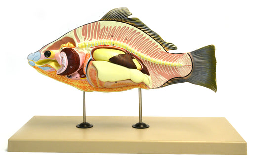 "Model, Fish (Carp), 16"" Long - Removable Air Bladder, Intestine, Stomach"