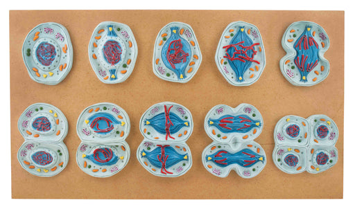 Meiosis Set of 10