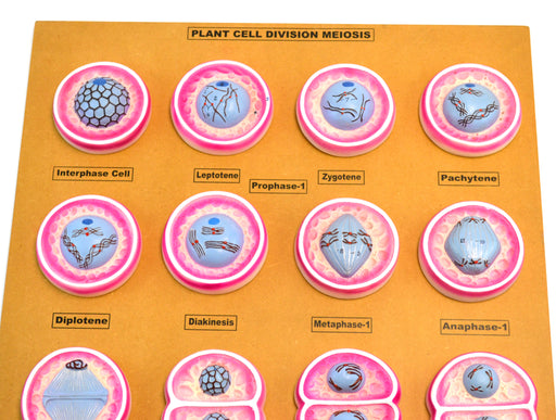 "16 Plant Cell Division Meiosis Model, Mounted on Base - 24"" x18"" - Eisco Labs"