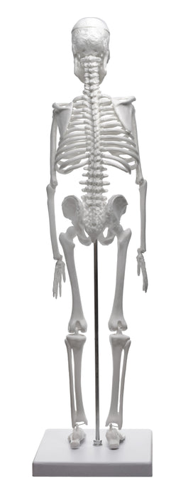 "Miniature Human Skeleton Model, 17.5"" Tall - With Rod Mount & Stand"