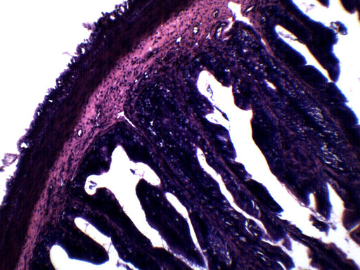 Frog Rectum - Cross Section - Prepared Microscope Slide - 75x25mm