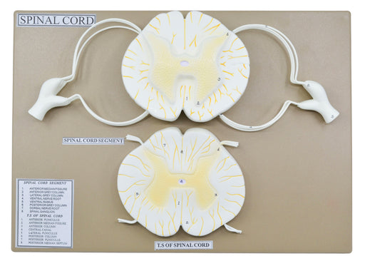Spinal Cord Model, 17 Inch - Mounted - 10x Enlarged - Includes Nerve Branches - With English Key Card - Eisco Labs