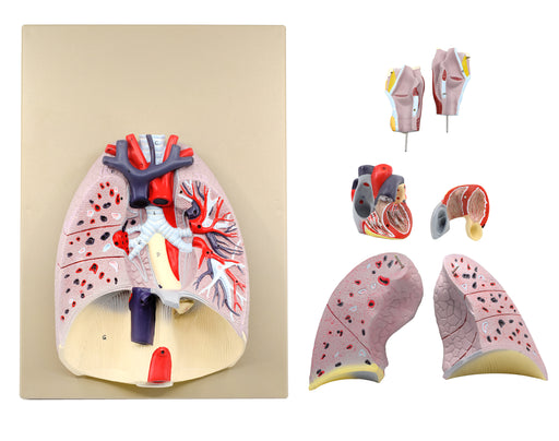 Eisco Labs Advanced Heart and Lung Model, 7 Parts