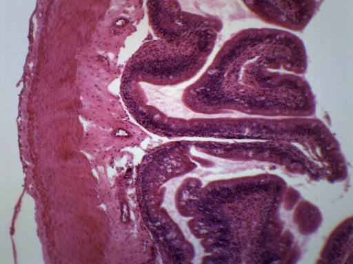 Frog Intestine - Cross Section - Prepared Microscope Slide - 75x25mm