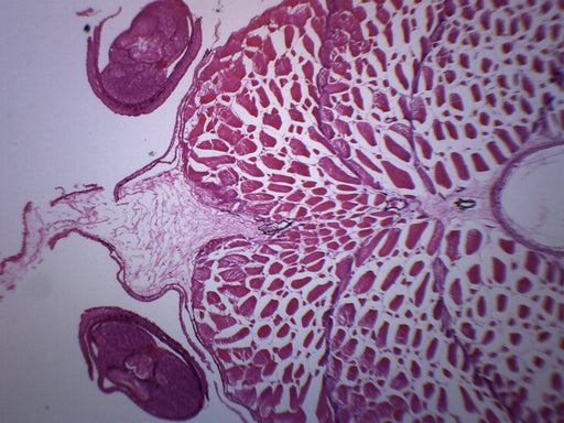 Tadpole Abdomen - Cross Section - Prepared Microscope Slide - 75x25mm