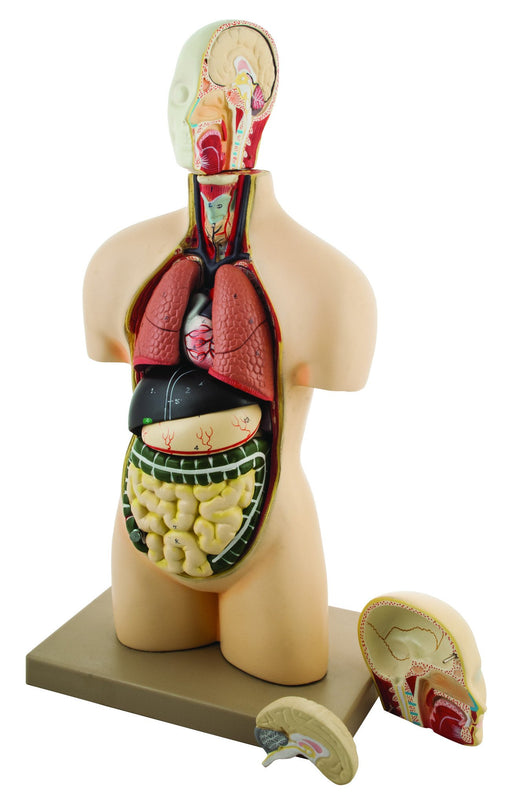 Eisco Half-Size Human Torso Model with Dissectable Head, 11 Parts