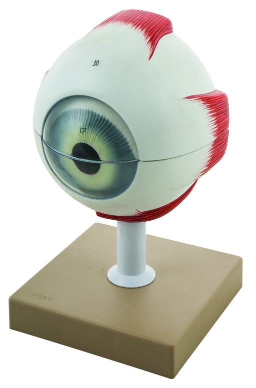 Eisco 5x Life-Size Human Eye Model, 6 Parts