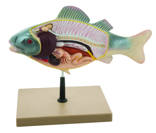 "3D Fish Dissection Model, 14"" Length"