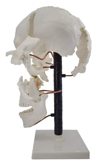 Beauchene Skull Model - 22 Parts, Mounted on Stand - Natural Size