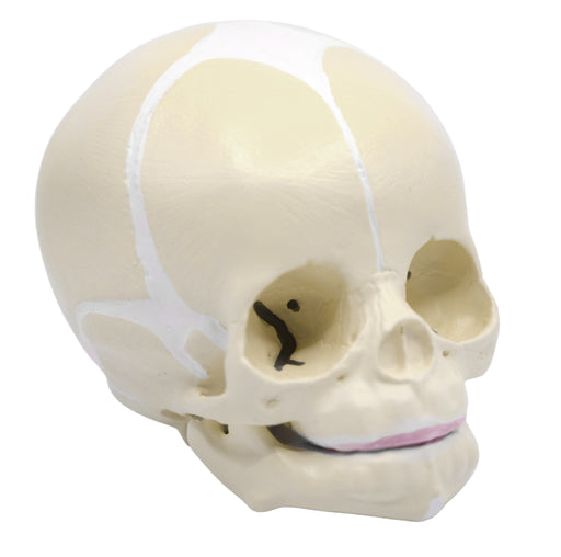 Eisco Life-Size Infant Human Skull Model with Articulated Mandible
