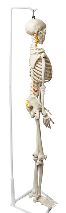 Human Skeleton Model, Half Size - With Nerve Endings - Hanging Mount - Incredible Detail for Anatomical Study - Eisco Labs