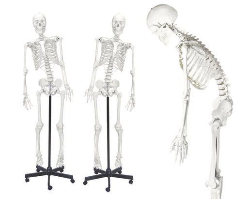 Skeleton Model, Life Size - Flexible Joints & Spine, Rod Mounted