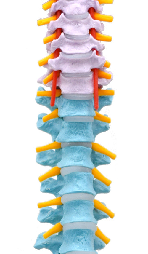 "Human Spine Model, Flexible - 31.5"" Height - Includes Mount"