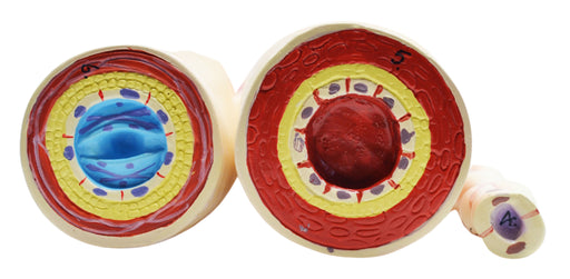 3 Piece Artery, Vein and Capillary Model Set, 13 Inch - Enlarged - Numbered - Cross Sections - Eisco Labs