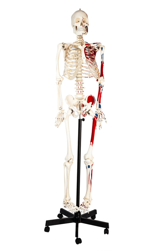 Eisco Full-Size Human Skeleton with Painted Muscles Model, Rod Mount